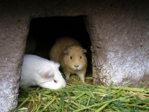 can guinea pigs see?