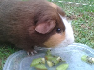 can guinea pigs eat kiwi fruit