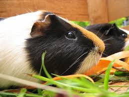 should guinea pigs be kept inside or outside