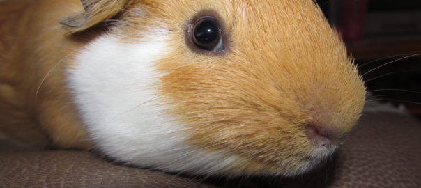 can guinea pigs be in the dark