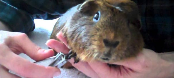 should guinea pigs go outside